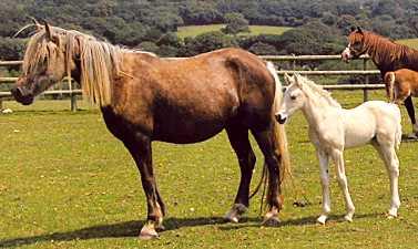 Desach Golden Girl & Tresorya Gwyddfid Gwrol